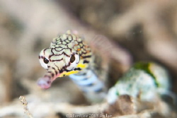 Yellow-banded Pipefish. by Allen Lee 